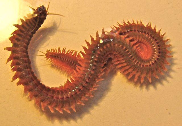 nombre cientifico de gusanos marinos
