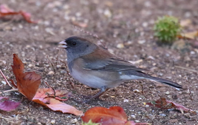 Female Oregon Junco