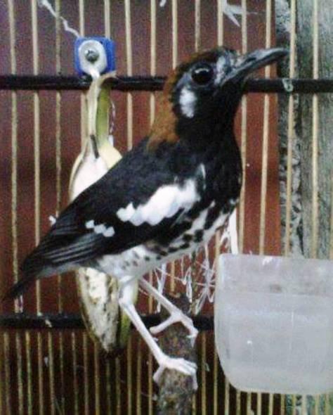 Burung Anis Kembang Mengetahui Habitat Asli Anis Kembang Di Dunia
