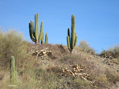 giganta elephant tree and cardon cacti