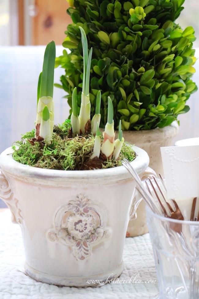 large-ziva-paperwhite-bulbs-give-mulitple-flowers