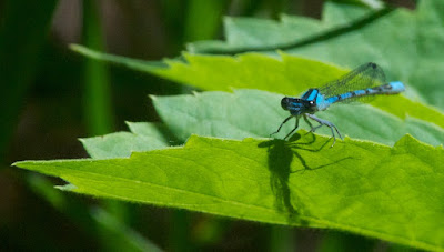 Bluet (Enallagma sp)