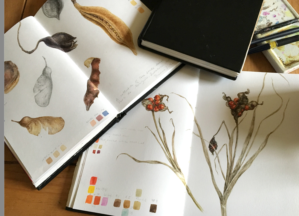 Sketchbook studies of seeds pods