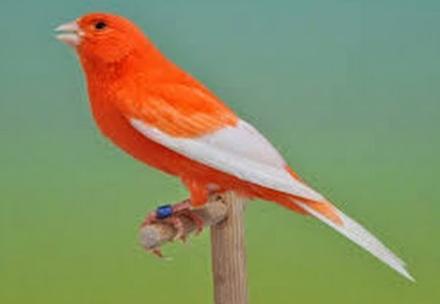 tips cara membuat burung kenari rajin berbunyi
