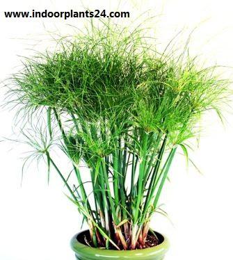 Cyperus Papyrus Cyperaceae Papyrus