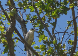 Black-crowned night-heron perched on a tree branch, Mountain View, California
