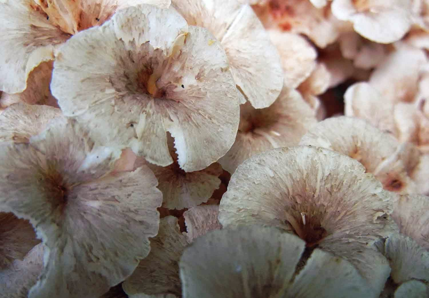 caps of Dendropolyporus umbellatus are umbilicate