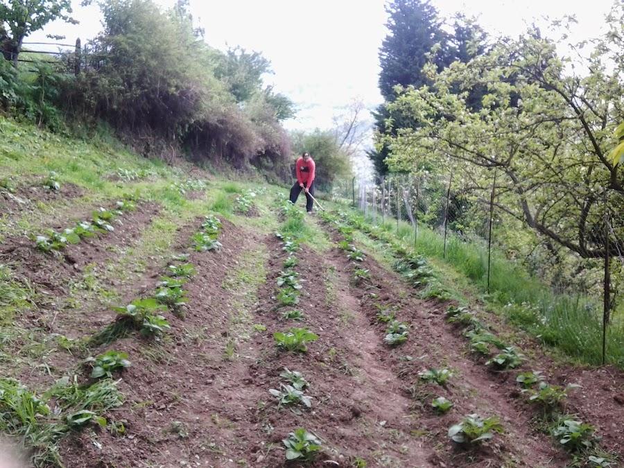 Una vez las patatas alcanzan cierta altura las cubrimos con tierra para que las partes subterraneas vayan creando los tuberculos.