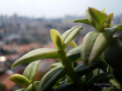 Espata floral em Epidendrum