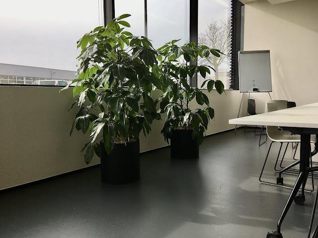 Grote kamerplanten voor interieur kopen of huren in webshop in België Prijzen op aanvraag