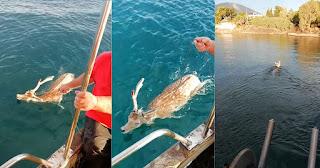 Εύβοια: Ψαράς έσωσε ελάφι που βρήκε στα ανοιχτά της θάλασσας όταν πήγε για ψάρεμα (Βίντεο)