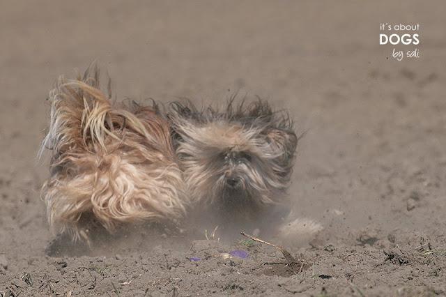 Tibet Terrier Chiru rennt über den staubigen Acker - frischgebadet war er!