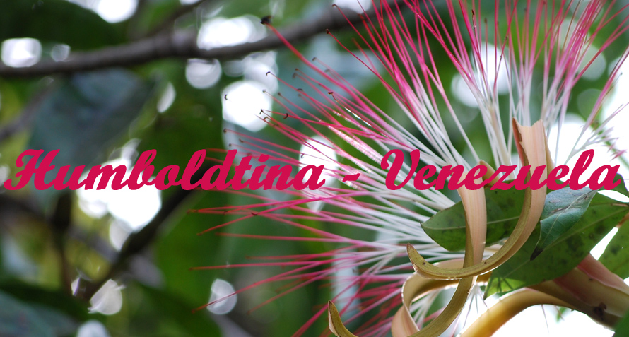 Lieblings Humboldtina - Venezuela: Honigbeere, Quenepa, Dotterknippe #BQ_07