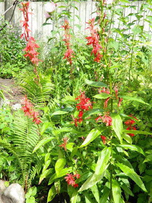 Lobelia cardinalis Cardinal flower Toronto ecological gardening by garden muses-not another Toronto gardening blog