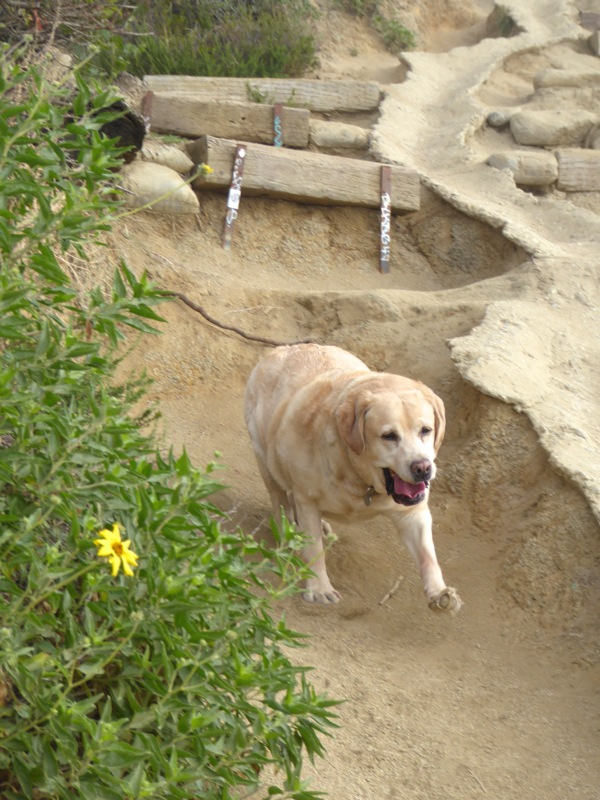 Labrador fun Runyon Canyon