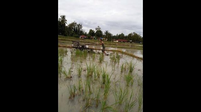 Serka P. Simanungkalit Dampingi Petani di Nagori Purwodadi Simalungun