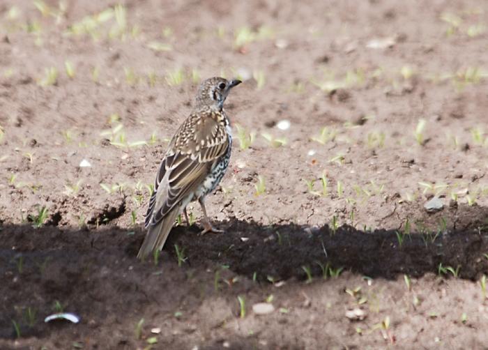 Analiza el SEO de birdringing.blogspot.com