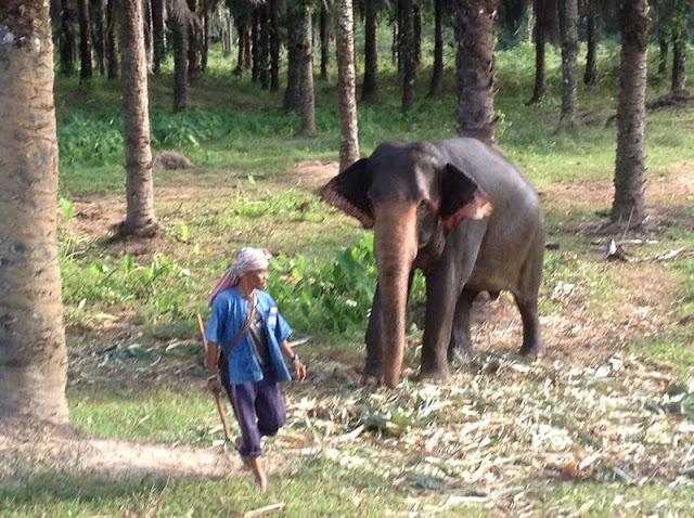 Elephant being led to her feed.