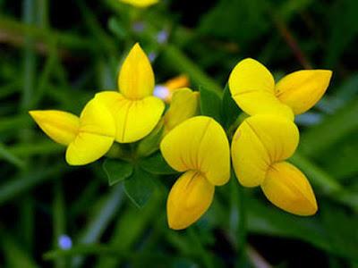 Lotus japonicus