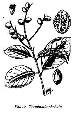 Hình vẽ cây Kha Tử - Terminalia chebula - Nguyên liệu làm thuốc Chữa Đi lỏng-Đau Bụng