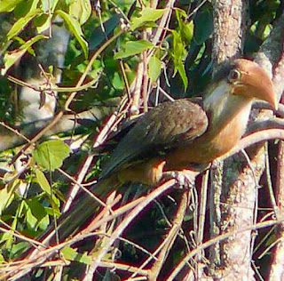 Photo of Austen's brown hornbill - Anorrhinus austeni