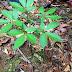 Hình ảnh cây và củ sâm Ngọc Linh rừng tự nhiên như thế nào?