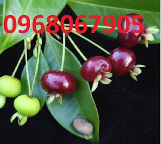 Giống cây cherry brazil. cung cấp cây ăn quả nhiệt đới, phù hợp với khí hậu việt nam.