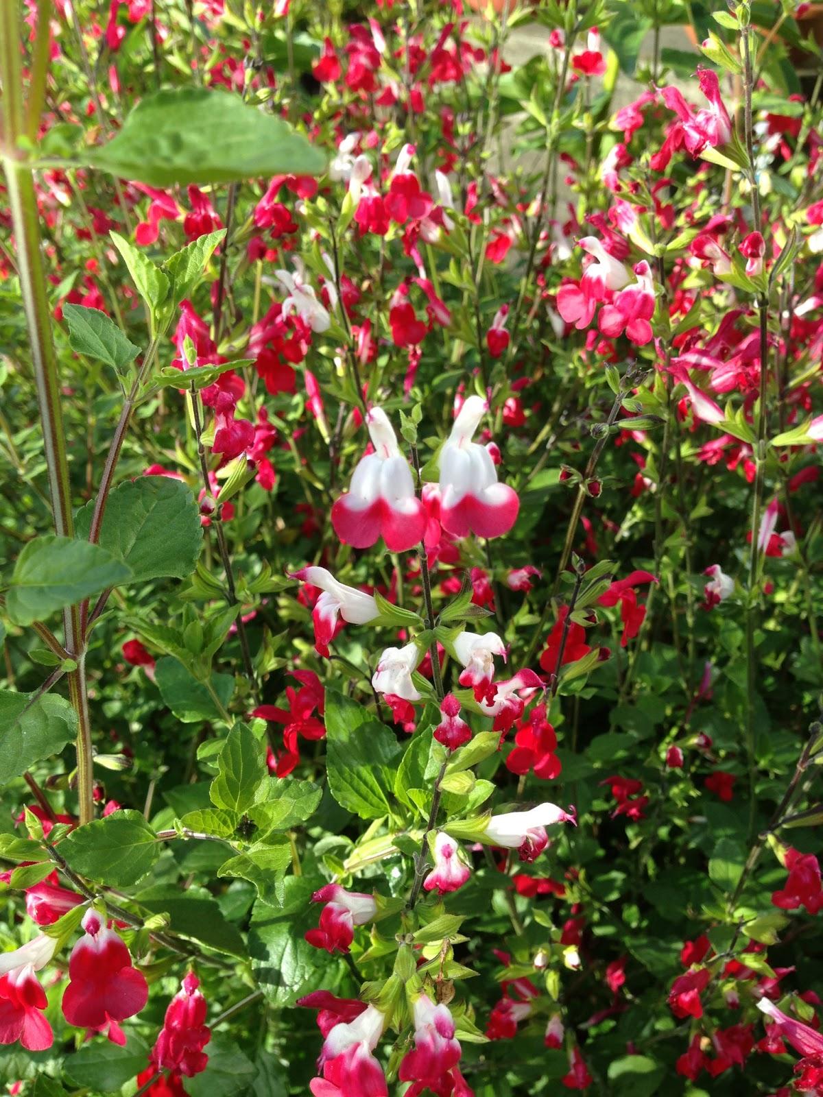 The Lents Farmer: Favorite Plant in the Garden - Hot Lips!