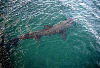 foto ikan hiu dari atas