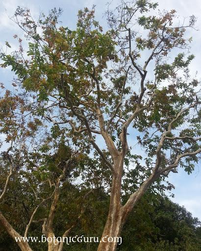 Lagerstroemia floribunda, Rose Of India