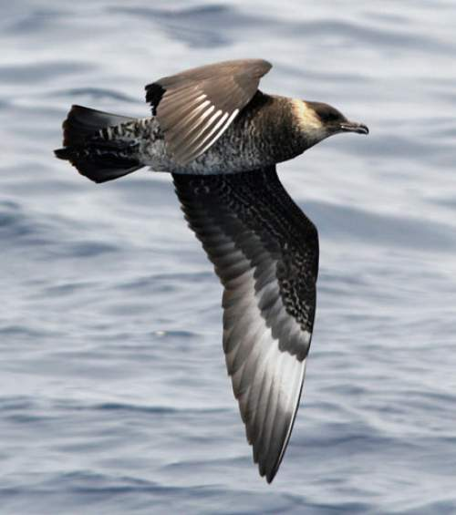 Indian birds - Picture of Pomarine jaeger - Stercorarius pomarinus