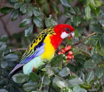 Perico multicolor: Platycercus eximius