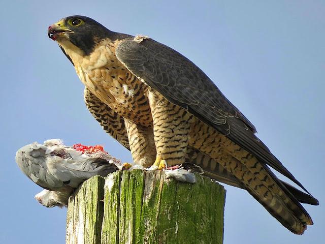 peregrine-falcon-list-trend
