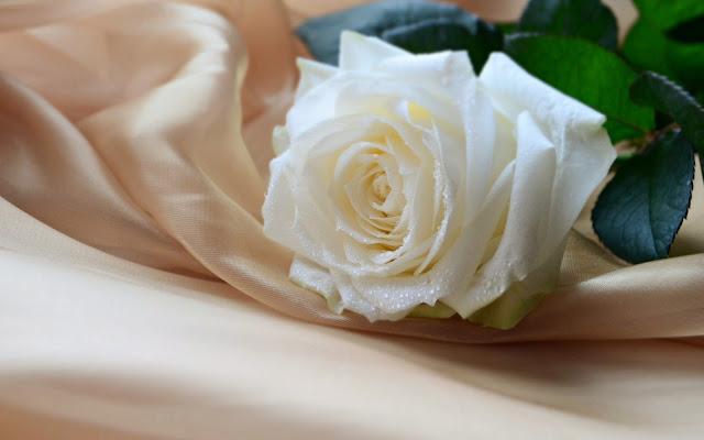 hình ảnh đẹp hoa hồng trắng 1