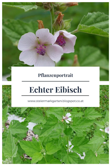 Echter-Eibisch-Pflanzenportrait-Pin-Steiermarkgarten