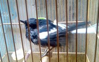 Proses Perawatan Burung Kacer Nyulam