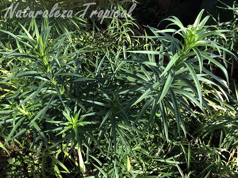 Vista de la planta del Lirio de Pascua, Lilium longiflorum
