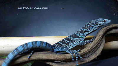 Blue tree monitor - Varanus macraei