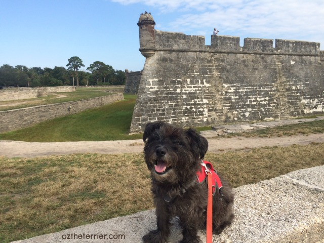 Oz the Terrier enjoys walking at Castillo de San Marcos, St. Augustine, Florida