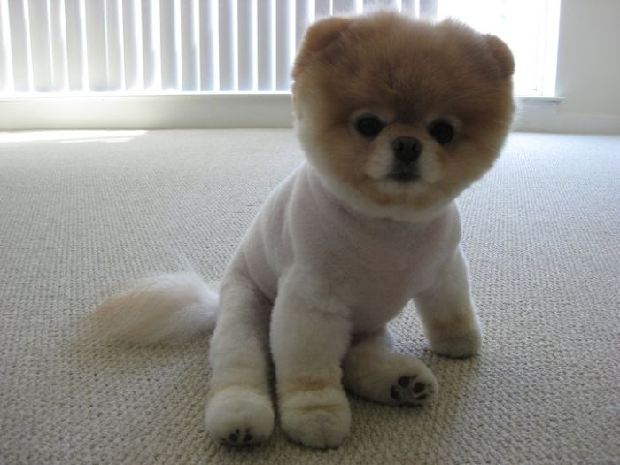 pomeranian boo dogs cool animals pictures meet boo the cutest pomeranian dog 6165