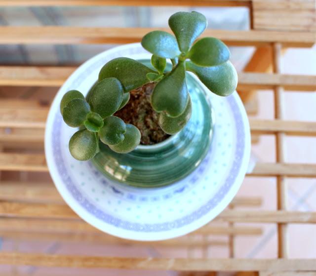 Jade plant Crassula ovarta