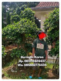Harga jual pohon bonsai beringin korea,  beringin dollar murah
