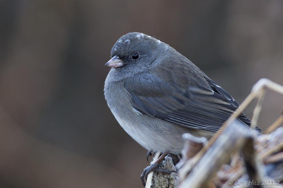 Junco Bird Pictures