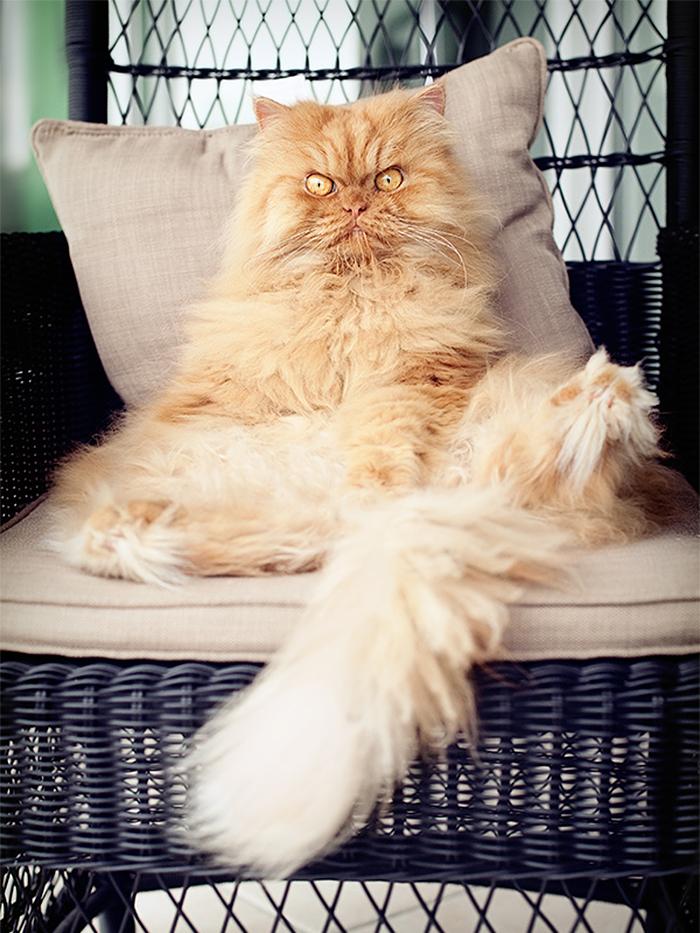 garfi-evil-grumpy-persian-cat-12
