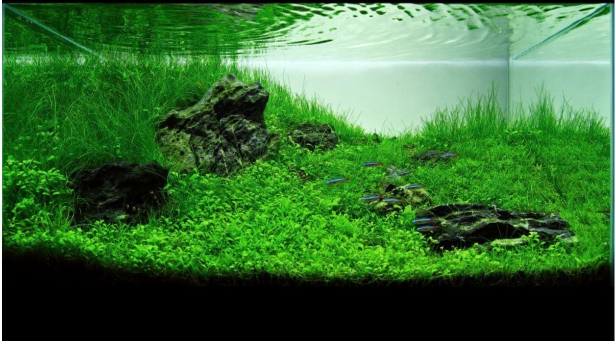 Hồ thủy sinh với cây trân châu nhật làm tiền cảnh