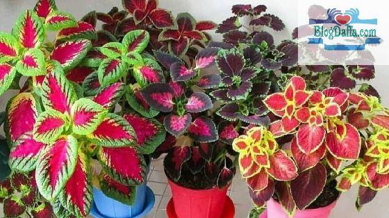 Jenis-jenis tanaman hias miana terpopuler