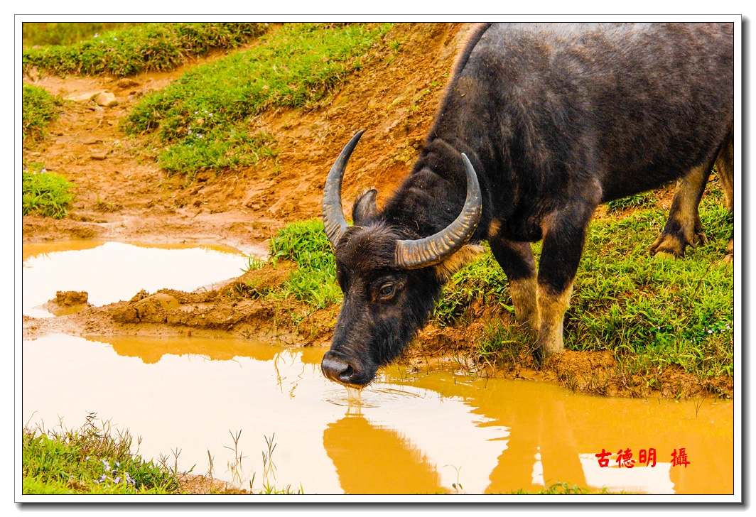 古德明的影像世界: 農家與牛---水牛篇(4/7)