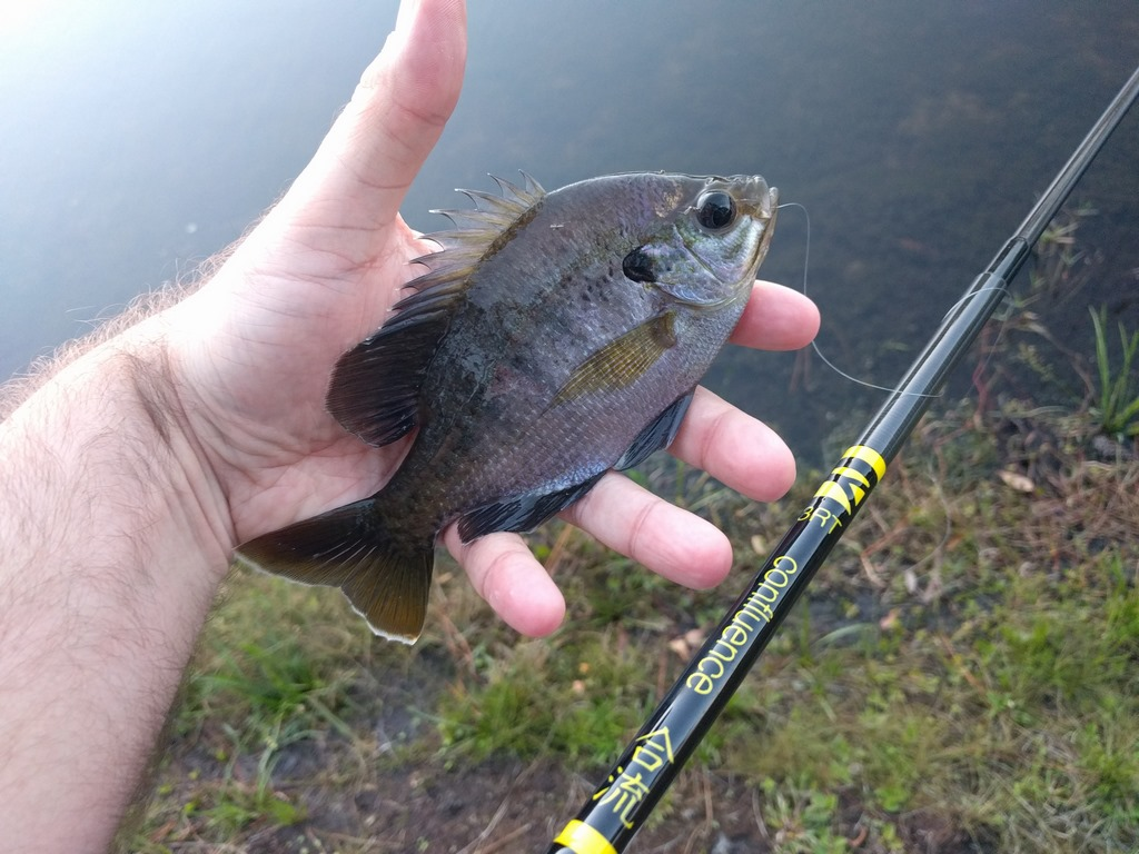 bluegill_three_rivers_tenkara_confluence_rod