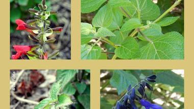 Salvia aquí y Salvia allá (Salvia mexicana y Salvia Fulgens)