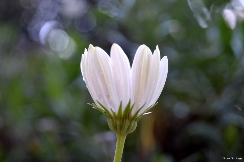 flores, gotas, fotofrafia, margaritas, arbol de la vida